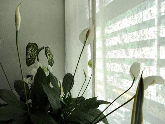Os lírios da paz, presente da amiga Lisa, enfeitam minha casa.